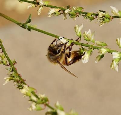 Tea Tree Flower Photograph - Bee On Flower Branch 1 by Linda Brody