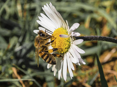 Photograph - Bee On Flower Daisy by Giovanni Bertagna