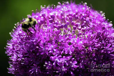 Photograph - Bee On Flower by Suzanne Luft