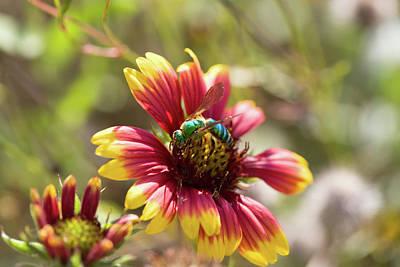 Photograph - Bee On Gaillardia by Diane Macdonald