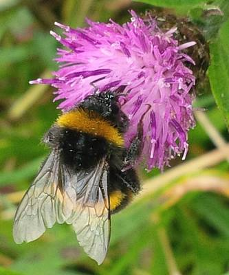 Photograph - Bee On Knapweed by Richard Brookes
