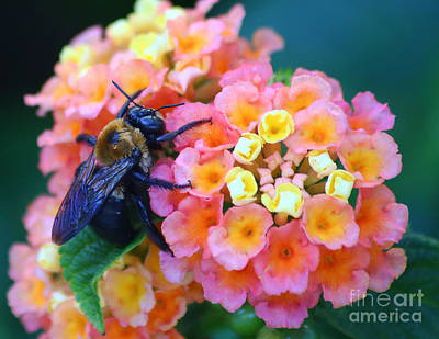 Photograph - Bee On Lantana by Marty Fancy