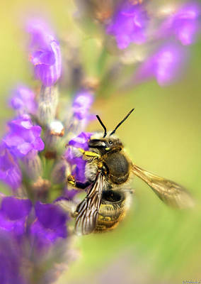 Photograph - Bee On Lavender by Weston Westmoreland