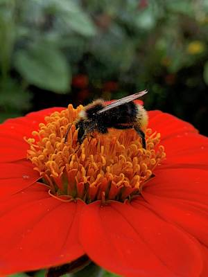 Photograph - Bee On Mexican Sunflower by Sean Foreman