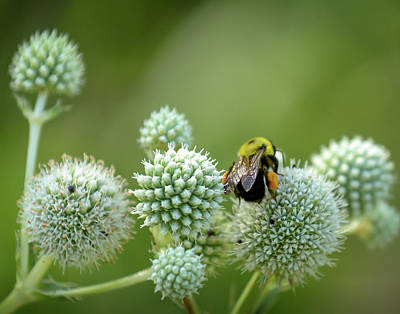 Photograph - Bee On Milkweed by James Barber