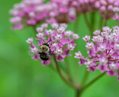 Photograph - Bee On Milkweed by Keith Smith