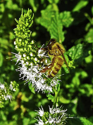 Photograph - Bee On Mint by Harold Zimmer