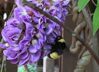 Painting - Bee On Native Wisteria by Angela Annas