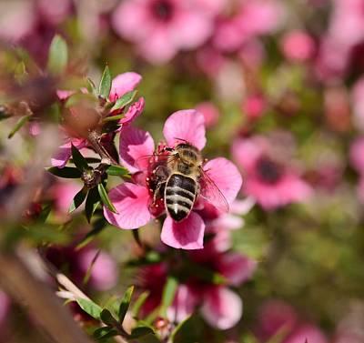 Tea Tree Flower Photograph - Bee On New Zealand Tea Plant 2 by Linda Brody