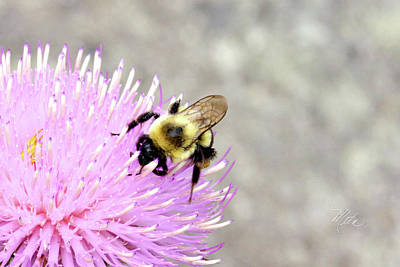 Print featuring the photograph Bee On Pink Bull Thistle by Meta Gatschenberger