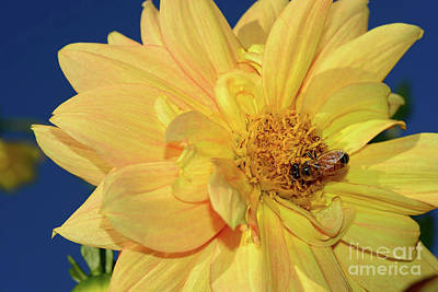 Photograph - Bee On Pretty Dahlia By Kaye Menner by Kaye Menner