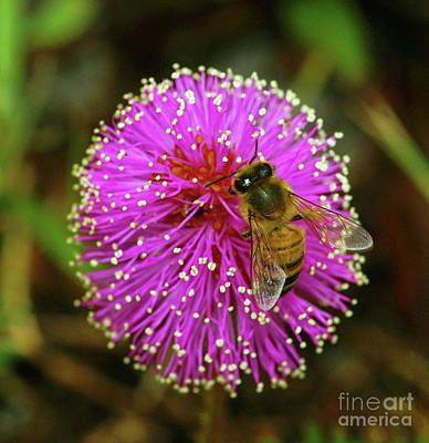 Photograph - Bee On Puff Ball by Larry Nieland