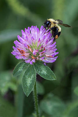 Photograph - Bee On Purple Clover by Patti Deters