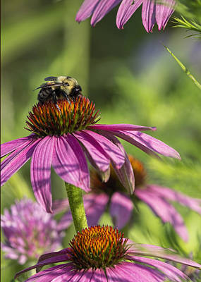 Photograph - Bee On Purple Coneflower by Ron Grafe