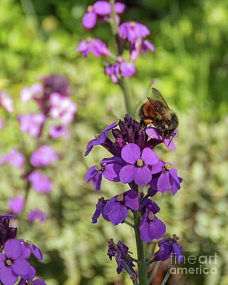 Photograph - Bee On Purple Flower by Cheryl Del Toro