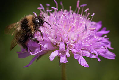 Photograph - Bee On Purple Flower by Inge Riis McDonald