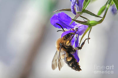 Photograph - Bee On Purple Flower by Patricia Hofmeester