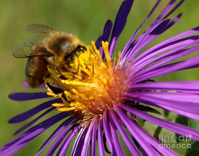 Photograph - Bee On Purple Flower by PJ Boylan