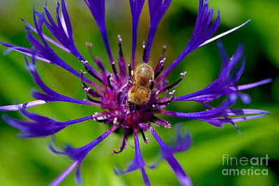 Photograph - Bee On Purple Flower by Terry Elniski