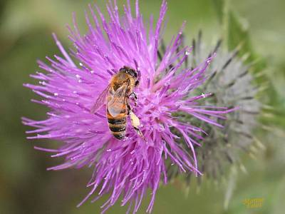 Bee On Purple Thistle Art Print