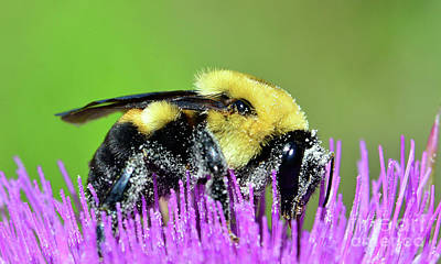 Photograph - Bee On Purple Thistle by Nanette OHara
