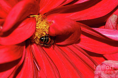 Photograph - Bee On Red Dahlia By Kaye Menner by Kaye Menner