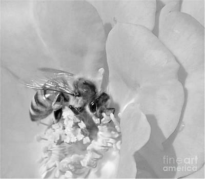 Photograph - Bee On Rose Macro by Sara Raber