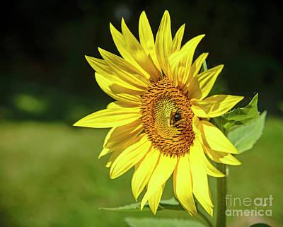 Photograph - Bee On Sunflower by Alana Ranney