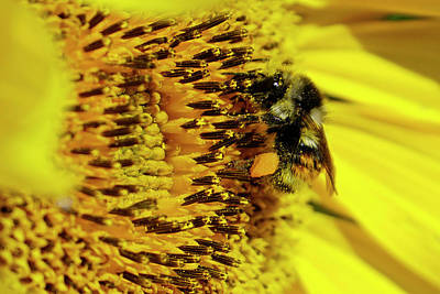Photograph - Bee On Sunflower by Inge Riis McDonald