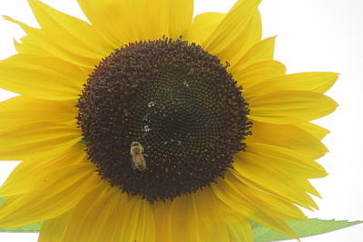 Photograph - Bee On Sunflower by Karen Molenaar Terrell