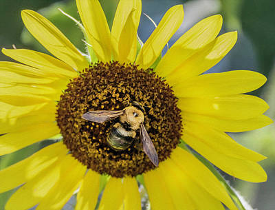 Photograph - Bee On Sunflower by Keith Smith