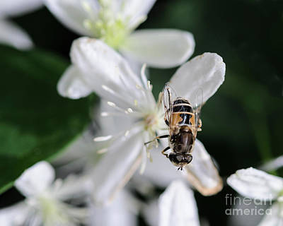 Photograph - Bee On Sweet Autumn Clematis by Tamara Becker