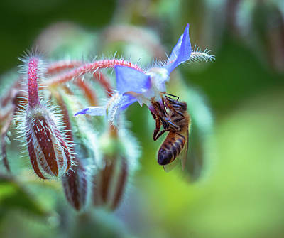 Photograph - Bee On The Flower 2 by Lilia D