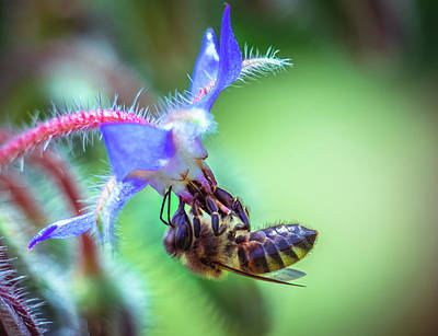 Photograph - Bee On The Flower by Lilia D