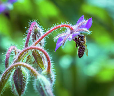 Photograph - Bee On The Flower5 by Lilia D