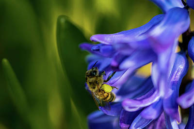 Photograph - Bee On The Hyacinth by Jay Stockhaus