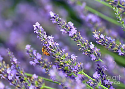 Photograph - Bee On The Lavender by Kerri Farley