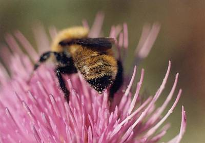 Bee On Thistle 102 Print by Diane Backs-Mancuso