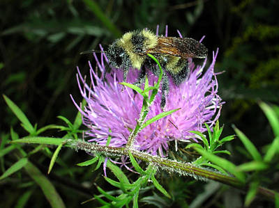 Photograph - Bee On Thistle 2 by George Jones