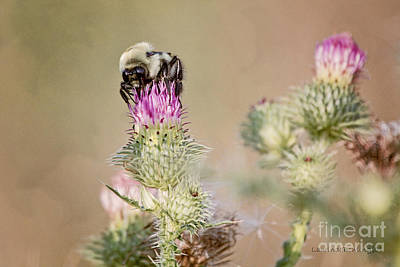 Photograph - Bee On Thistle Weed by Laurinda Bowling