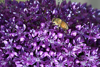 Photograph - Bee On Vibrant Purple Flower Macro by Shawn O'Brien