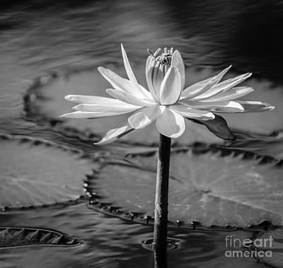 Bee On Waterlily, Black And White Art Print