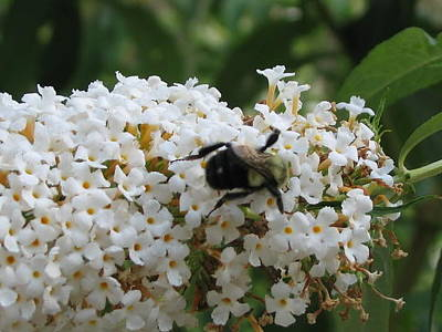 Photograph - Bee On White Buddleia by Iris Newman