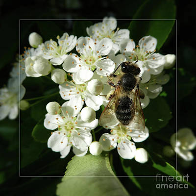 Photograph - Bee On White Flowers 2 by Jean Bernard Roussilhe