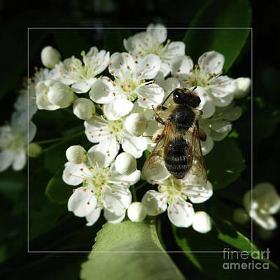 Bee On White Flowers 2 Art Print by Jean Bernard Roussilhe