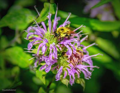 Photograph - Bee On Wild Bergamot by LeeAnn McLaneGoetz McLaneGoetzStudioLLCcom