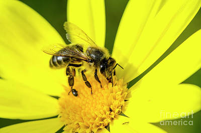 Photograph - Bee On Yellow Flower by Perry Van Munster