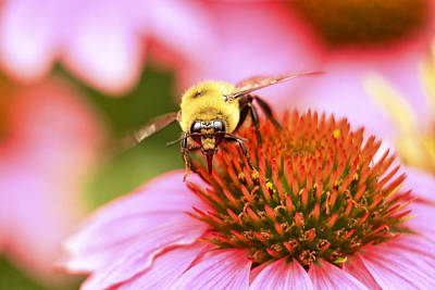 Fuzzy Digital Art - Bee On Zinnia by Geraldine Scull