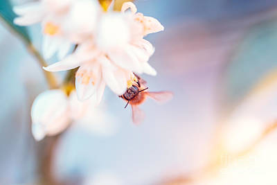 Photograph - Bee Pollinates Mandarin Flowers by Anna Om