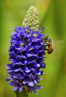 Bee Purple Original by Arthur Bohlmann